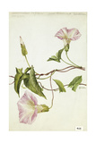 This Vine Is a Member of the Morning Glory Family Giclee Print by Mary E. Eaton