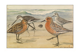 A Painting of a Red Knot and Eastern Dowitcher in Seasonal Plumage Giclee Print by Louis Agassi Fuertes