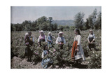 Peasants Stand in Fields Where World-Famous Rose Oil Is Cultivated Fotografiskt tryck av Wilhelm Tobien