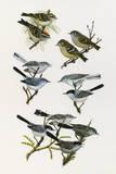 Paintings of Kinglets and Gnatcatchers Impression giclée par H. Douglas Pratt