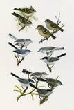 Paintings of Kinglets and Gnatcatchers Giclee Print by H. Douglas Pratt
