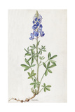 A Painting of a Spring of Texas Lupine Giclee Print by Mary E. Eaton