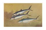 Painting of Two Kingfish Swimming Alongside a Spanish Mackerel Giclee Print by Hashime Murayama
