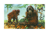 Borneo Orangutans Prefer an Aboreal Life, Coming Down Only as Needed Giclee Print by Elie Cheverlange