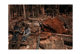 Lumbermen Conversing Among Fallen Giant Redwood Trees Photographic Print by B. Anthony Stewart