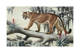 A Puma Slinks Along a Log in Moss-Hung Everglades Giclee Print by Walter A. Weber