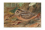 A Painting of an American Woodcock, Scolopax Minor Giclee Print by Louis Agassi Fuertes
