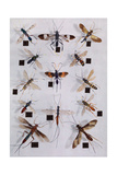 Collection of Ichneumon Flies Photographic Print by Edwin L. Wisherd