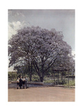 Locals Relax under a Blooming Jacaranda Tree Photographic Print by Melville Chater