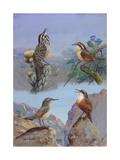 A Painting of Several Wren Species Reproduction procédé giclée par Allan Brooks
