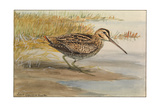 A Painting of a Wilson's Snipe Giclee Print by Louis Agassi Fuertes