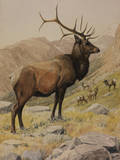 A Painting of an American Elk, also known as a Wapiti, and its Herd Giclee Print by Louis Agassi Fuertes