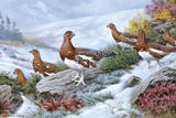 Willow Ptarmigans in Summer Plumage Leave Thicket to Search for Food Impression giclée par Walter A. Weber