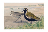 A Painting of Two Golden Plovers in Winter and Summer Plumage Impression giclée par Louis Agassi Fuertes