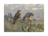 A Painting of an Adult Male and Immature Female Pigeon Hawk Giclee Print by Allan Brooks