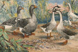 A Painting of a Pair of Toulouse Geese and Pairs of Chinese Geese Impression giclée par Hashime Murayama