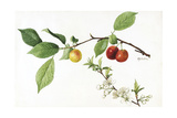 A Painting of the Fruit and Blossoms of the American Plum Plant Giclee Print by Mary E. Eaton