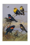 Blackbirds and Orioles Perched on Twigs Near Water Giclee Print by Allan Brooks