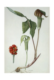 Painting of Jack-In-The-Pulpit Plant, Flower, and Berries Giclee Print by Mary E. Eaton