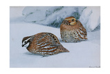A Painting of Two Bobwhites, Colinus Virginianus Virginianus, in Snow Giclee Print by Louis Agassi Fuertes