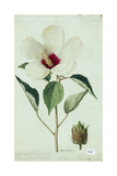 A Painting of a Flower Member of the Mallow Family Giclee Print by Mary E. Eaton