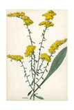 A Sprig of Gray Goldenrod Giclee Print by Mary E. Eaton