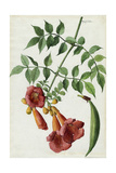 A Sprig of the Vine, Trumpet Creeper, and its Blossom Giclee Print by Mary E. Eaton