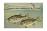 A Painting of Largemouth Bass (Upper) and Smallmouth Black Bass Giclee Print by Hashime Murayama