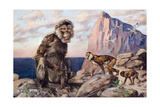 Painting of Barbary Apes, or Macaques, in a Rock of Gibraltar Setting Giclee Print by Elie Cheverlange