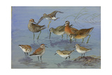 A Painting of Three Species of Sandpiper and an Eastern Dowitcher Giclee Print by Allan Brooks