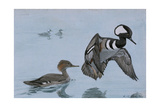 A Painting of a Male and a Female Hooded Merganser Giclee Print by Louis Agassi Fuertes