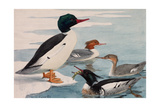 A Painting of American Mergansers and Red-Breasted Mergansers Giclee Print by Louis Agassi Fuertes