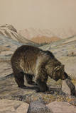 A Painting of a Grizzly Bear Inspecting a Rock Giclee Print by Louis Agassi Fuertes