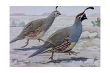 A Painting of a Pair of Gambel's Quail Giclee Print by Louis Agassi Fuertes