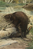 A Painting of an American Beaver Sitting on a Freshly Gnawed Log Giclee Print by Louis Agassi Fuertes