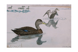 A Painting of a Black Duck Giclee Print by Louis Agassi Fuertes