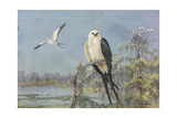 A Painting of Two Swallow-Tailed Kites Giclee Print by Allan Brooks