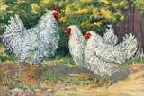 Frizzle Chickens Have Upward-Turned Feathers Giclee Print by Hashime Murayama
