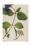 A Sprig of Silky Dogwood Shrub Berries and Blossoms Giclee Print by Mary E. Eaton