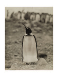 A Prospective Parent Penguin Shows Off its Superior Attitude Photographic Print by Robert Cushman Murphy