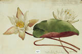 This Plant Belongs to the Water Lily Family Giclee Print by Mary E. Eaton