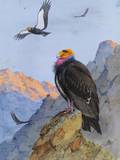 A Painting of Adult and Immature California Condors Giclee Print by Allan Brooks