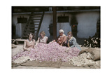 Bulgarian Women Seated around a Pile of Rose Petals for Distillation Fotografiskt tryck av Wilhelm Tobien