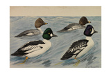 A Painting of Breeding Pairs from Two Species of Golden-Eyes Giclee Print by Louis Agassi Fuertes