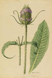 This Plant Is a Member of the Teasel Family Giclee Print by Mary E. Eaton