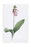 A Painting of the Wild Orchid, Moccasin Flower Giclee Print by Mary E. Eaton