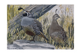 A Painting of a Pair of Quail Giclee Print by Louis Agassi Fuertes