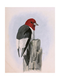 A Painting of a Red-Headed Woodpecker Perched on a Tree Stump Giclee Print by Louis Agassi Fuertes
