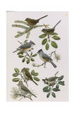 Paintings of Titmice and Wrentits Giclee Print by John P. O'Neill
