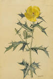 This Plant Is a Member of the Poppy Family Giclee Print by Mary E. Eaton
